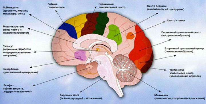 Функции отделов мозга