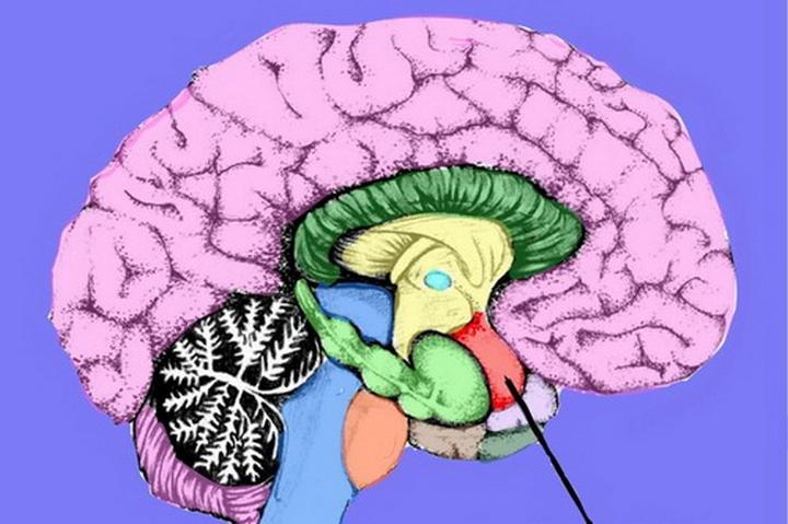 Расположение мозжечковой миндалины