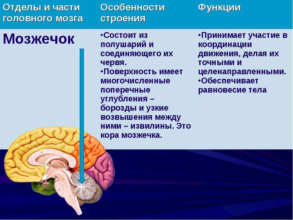 картинка где находится мозжечок была опубликована