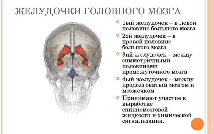 Строение и функции желудочков мозга