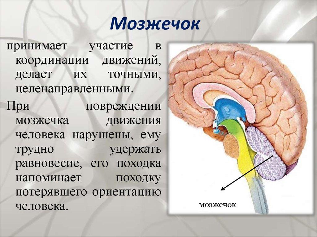 За что отвечает мозжечок