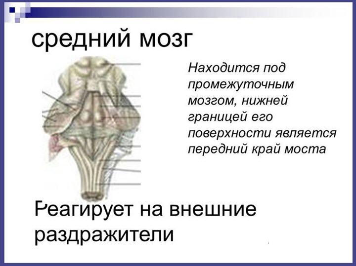 Местоположение среднего мозга